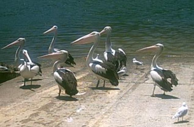 Pelicans on the boat ramp